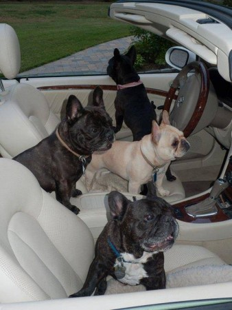 A handful of French bulldogs! A Mercedes-full of French bulldogs we might say. But where is the actual driver going to sit? Photo courtesy of Richard S.