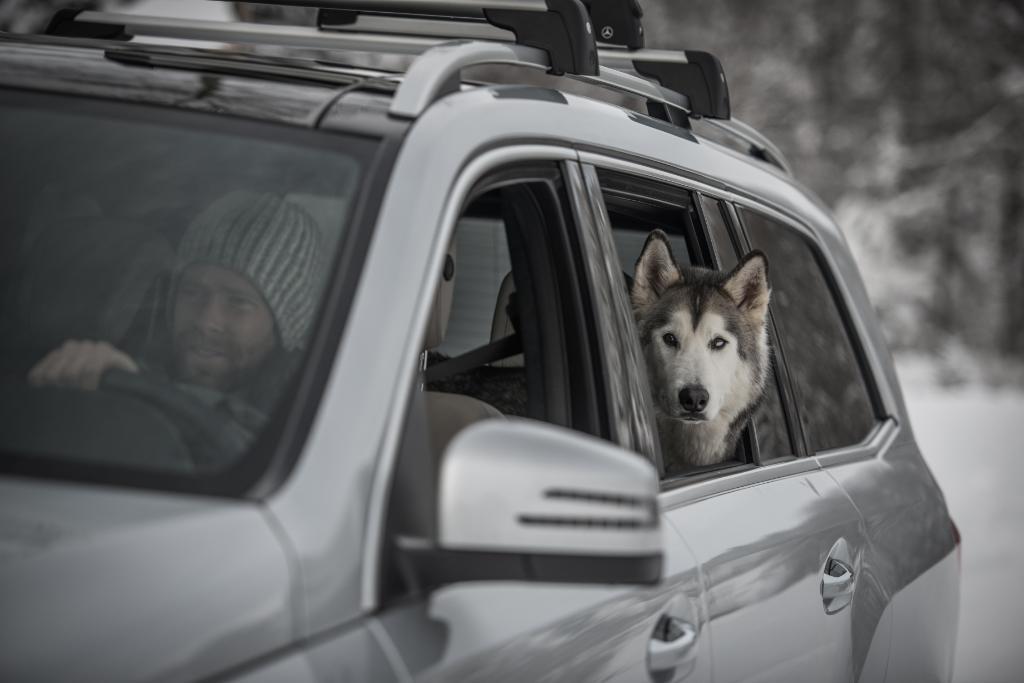 Loki the husky dog