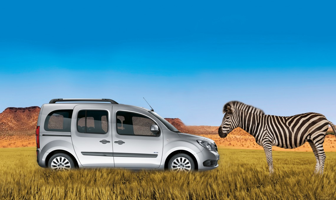 Baby zebra Citan meets Mercedes-Benz Citan in the wild